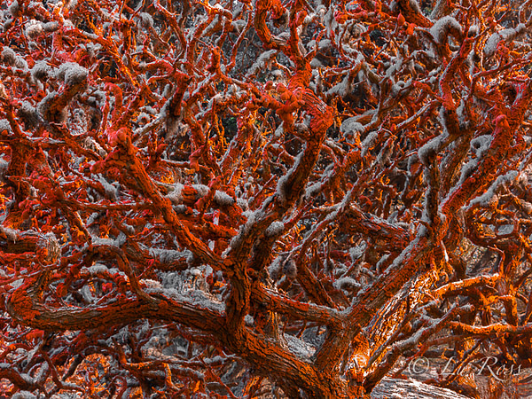 Cypress tree covered by a rusty-red color algae